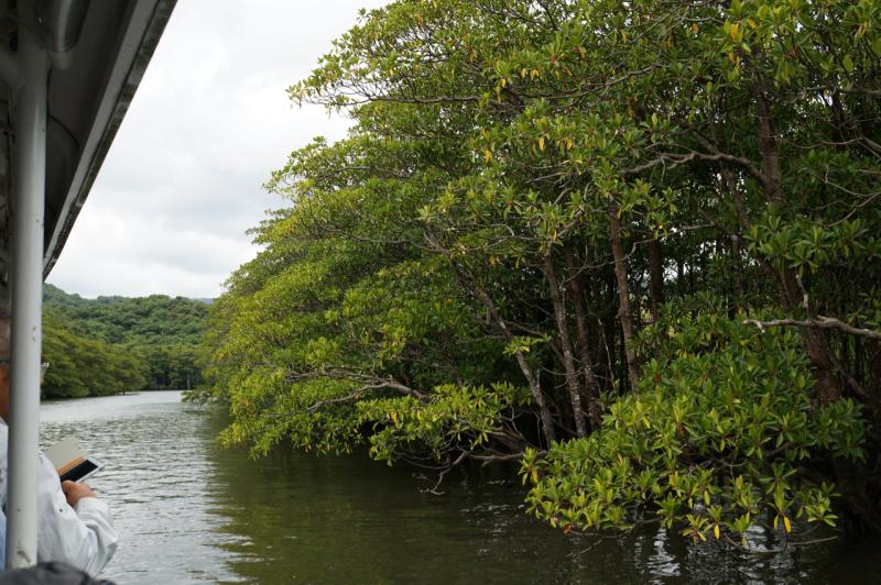 仲間川の両岸はマングローブ