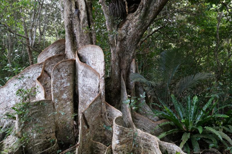 サキシマスオウノキという名の木